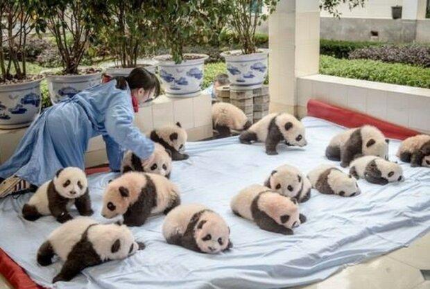 Kindergarten für Pandas: einer der süßesten Orte der Welt
