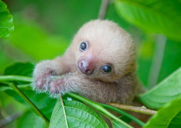Wissenschaftler aus Costa Rica kümmern sich um die kleinen Faultiere und ersetzen ihnen Mütter
