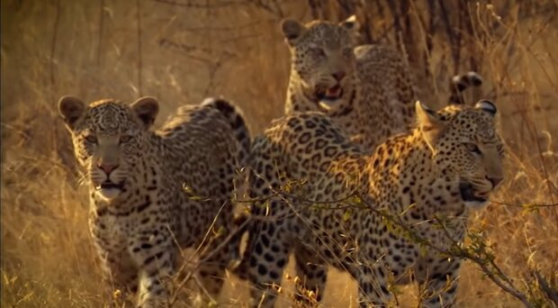 """""""Glück gehabt"""": Straßenhund hat sieben Stunden im selben Raum mit einem Leoparden verbracht und überlebt"""