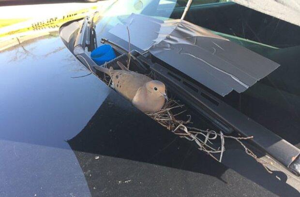 Vogel hat sich auf der Motorhaube eines Polizeiautos eingenistet. Quelle: Screenshot Youtube