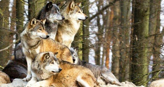Ein Rudel Wölfe rettete eine schwangere Frau und half ihrem Sohn, geboren zu werden