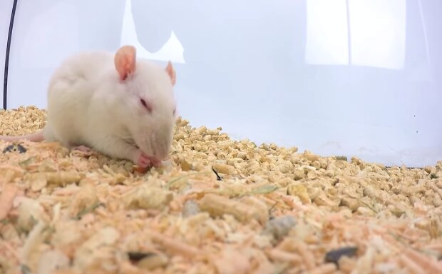 Weiße Ratt. Quelle: Screenshot YouTube