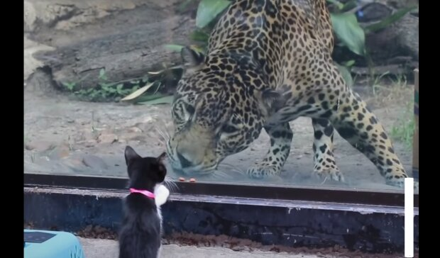 Katze und Gepard. Quelle: YouTube Screenshot
