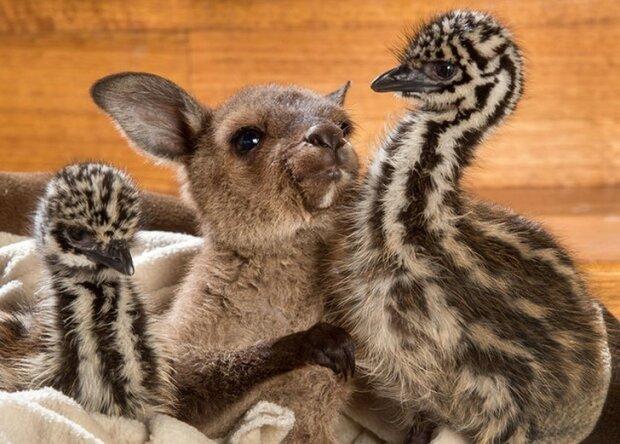 Pelzige Freunde: Wie Strauße und ein Känguru Zeit zusammen verbringen