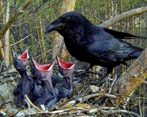 Die Frau schützte das Krähennest vor der Zerstörung, und als Dank dafür rettete der Vogel ihr Kind