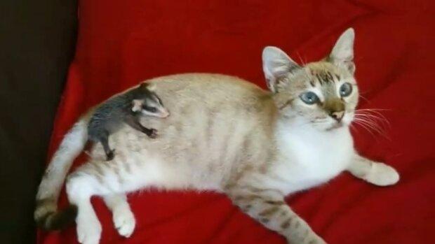 Ein auf der Straße gefundenes Kätzchen wuchs groß und wiederholte die Tat seines Besitzers: Es brachte ein kleines Opossum ins Haus