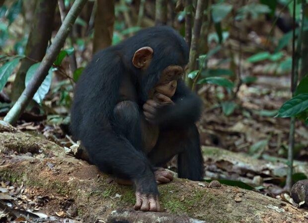 Schimpanse. Quelle: Screenshot Youtube