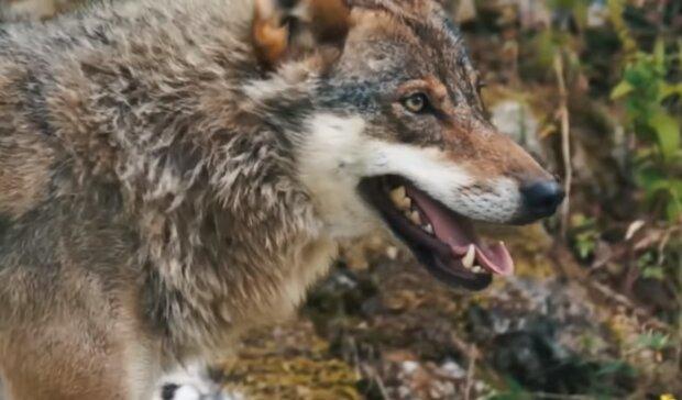 Der Wolf. Quelle: Screenshot YouTube