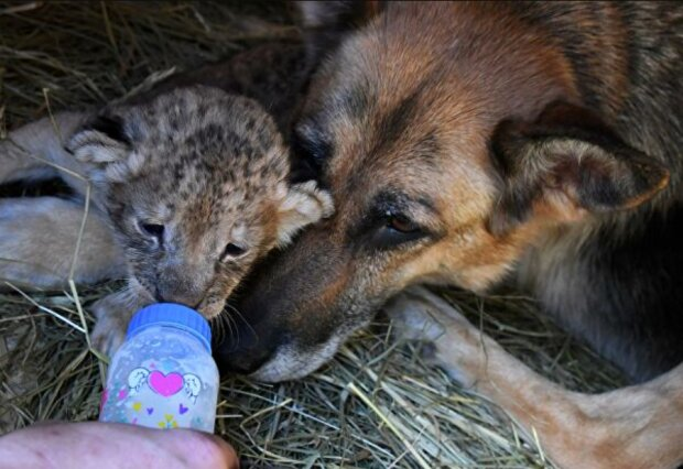 Ein Schäferhund ersetzte Mutter für die verlassenen Löwenbabys