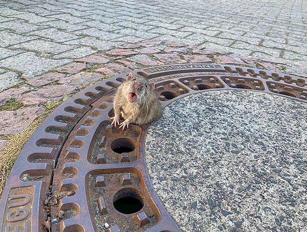 In Deutschland blieb eine Ratte in einer Luke stecken: Ohne die Hilfe von Feuerwehrleuten konnte sie nicht zurechtkommen