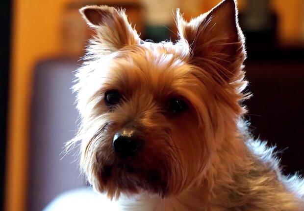 Yorkshire Terrier. Quelle: Screenshot Youtube