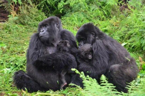 Ein junger Gorilla beschließt, das Kind eines anderen zu stillen, damit sich die junge Mutter ausruhen kann