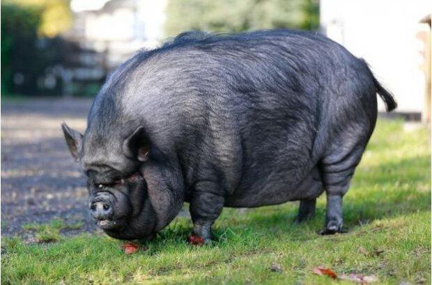 Rettungsaktion: ein zweihundert Kilogramm  schweres Schwein, das in einem britischen Haus lebte, wurde aus einem brennenden Haus evakuiert