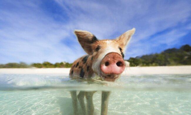 Ein Stück Land ohne Menschen, auf dem nur Schweine leben