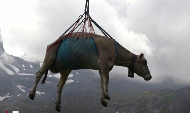 Abstieg der Kühe von den Almen. Quelle: YouTube Screenshot
