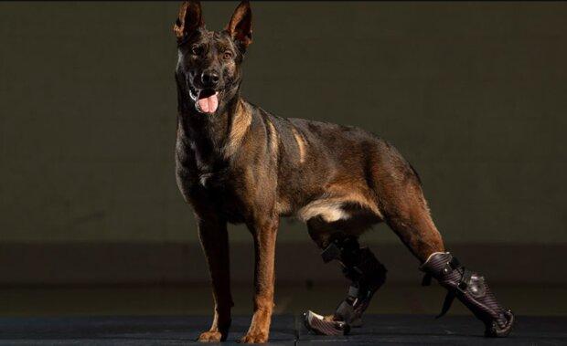 Die Geschichte des Helden: wie ein Schäferhund mit Prothesenpfoten eine Tapferkeitsmedaille erhielt