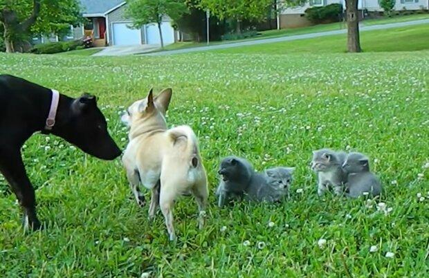 Immer auf der Lauer: Der mutige Chihuahua hält den großen Hund von den Kätzchen fern