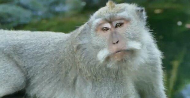 Bali-Makaken haben gelernt, den Touristen die wertvollsten Dinge abzunehmen und dann ein Lösegeld zu fordern