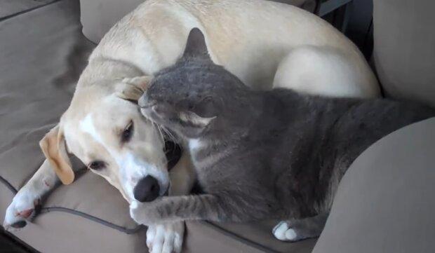 Labrador und Kater. Quelle: YouTube Screenshot
