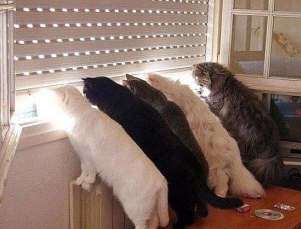 Katzen, die sich auf ihre Besitzer freuen, wenn sie nach dem Arbeitstag nach Hause zurückkehren