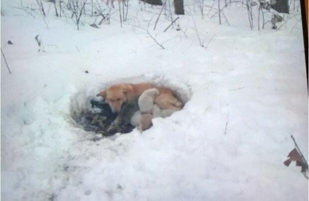 Wahre Mama: Der Hund erstarrte im Schnee, ließ aber seine Welpen nicht zurück und wärmte sie mit seiner Hitze