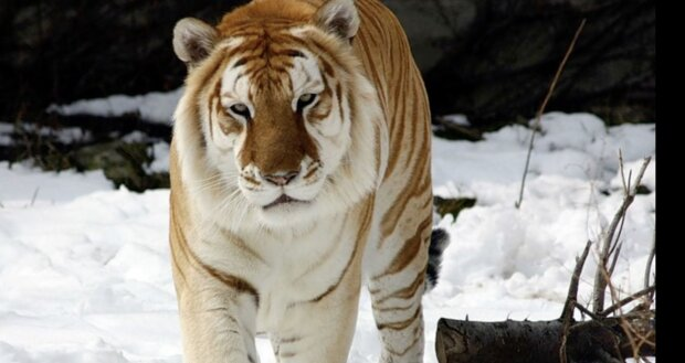 Tiger. Quelle: Screenshot YouTube