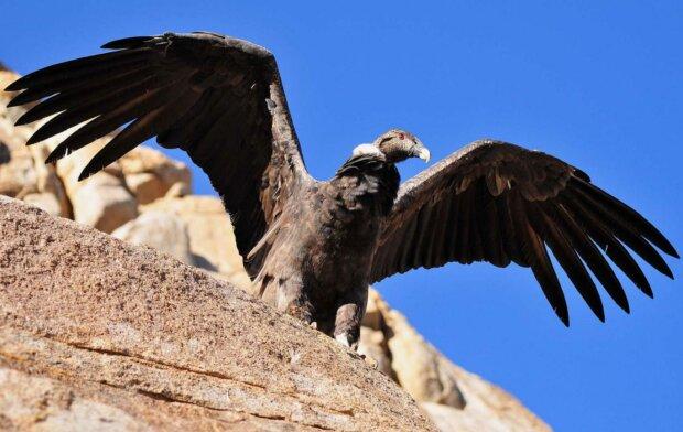 Freundschaft zwischen einem Vogel und Menschen: Der Kondor fliegt oft zum Mann, um ihn zu umarmen