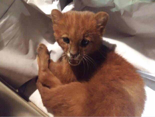 Die Frau rettete ein winziges Kätzchen, und es wuchs zu einem Raubtier heran