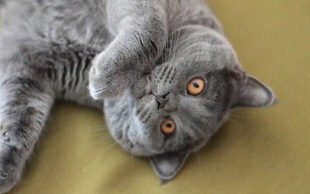 Britische blaue Katze. Quelle: Screenshot Youtube