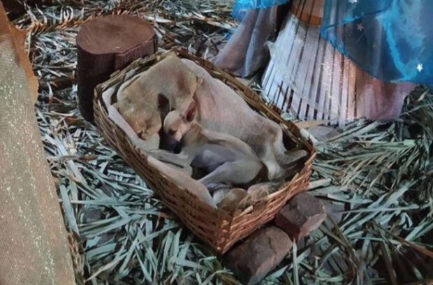 Ein obdachloser Welpe schlief in einer Weihnachtskrippe ein und wachte am nächsten Morgen als Star auf