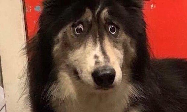 Husky mit einem ungewöhnlichen Blick. Quelle: Screenshot Youtube