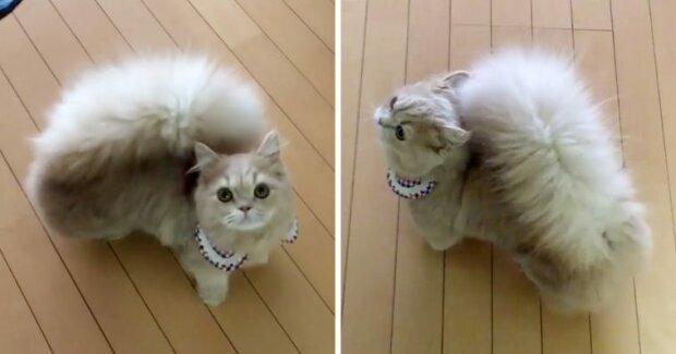 Man kann nicht unterscheiden ob es sich um eine Katze oder ein Eichhörnchen handelt: Katze Belle hat einen schönen und flauschigen Schwanz