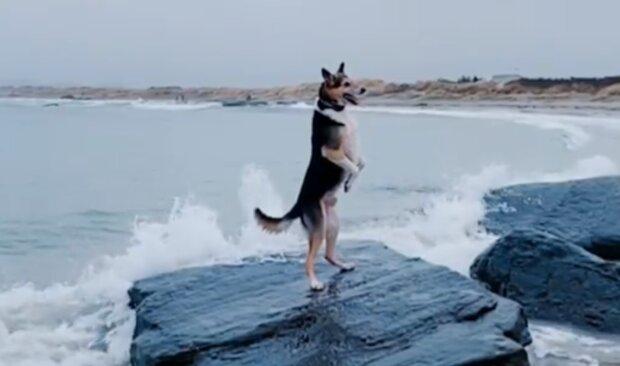 """""""Denkt, er sei ein Mensch"""": Ein achtjähriger Hund liebt es, auf zwei Pfoten zu gehen"""