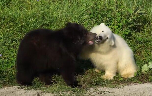 Grizzlybärjunges und Eisbärjunges. Quelle: YouTube Screenshot
