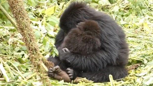 Eine Gorilla mit einem Jungtier. Quelle:Screenshot YouTube
