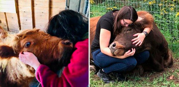 """Neue """"Therapie"""": freundliche Umarmungen mit Kühen"""