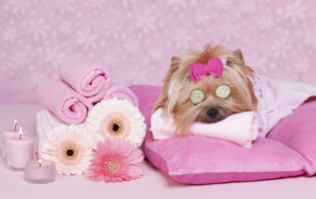 Yorkshire Terrier Dog Day at the Spa