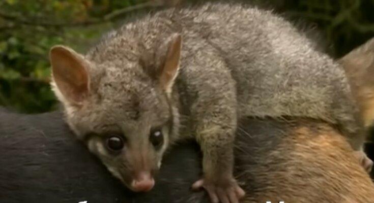 Opossum reitet den Hund. Quelle: Youtube Screenshot
