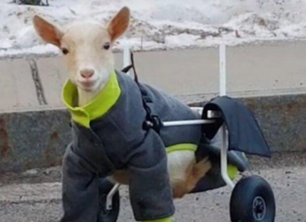 Die kleine Ziege wurde mit den krummen Pfoten geboren, aber dank den Ärzten lernt sie jetzt laufen