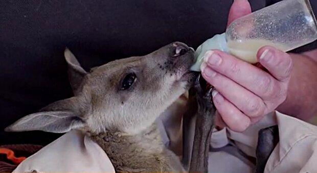 Känguru. Quelle: YouTube Screenshot