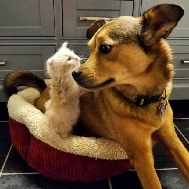 Ein guter Hund hat seiner Besitzerin geholfen, Kätzchen zu pflegen, die er auf der Straße fand