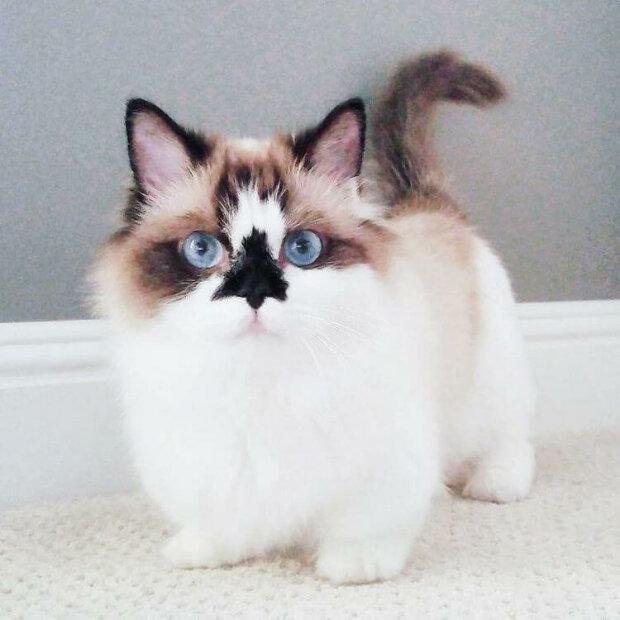 Für immer ein Kätzchen: der Munchkin Albert, der nie erwachsen wird