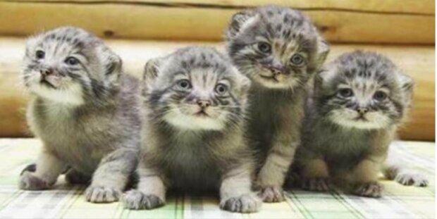 Der Bauer dachte, er würde gewöhnliche Kätzchen aufheben: die Kinder wurden erwachsen und wurden zu gruseligen Raubtieren