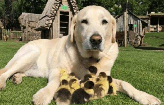 Labrador mit den Entenküken. Quelle: Screenshot Youtube