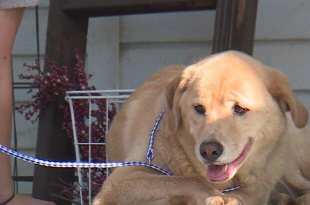 Labrador ist mehr als 90 km weit gelaufen, um von zu Hause zu fliehen