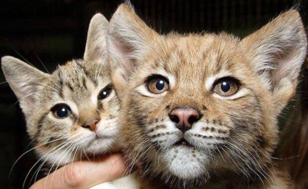 Der wilde Luchs und die einfahe Katze sind zusammen gewachsen und bleiben immer noch Freunde