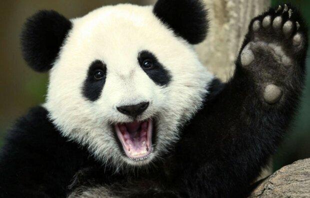 Warum man die Panda-Art retten muss und wie sie jetzt Diplomaten hilft