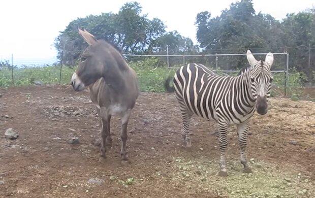 Zebra und Esel. Quelle: YouTube Screenshot