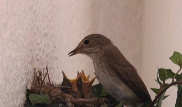 Fliegenschnäppernest. Quelle: YouTube Screenshot