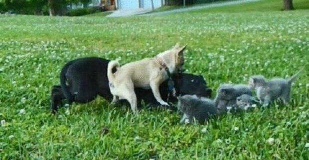 Tapferes Kind: kleine Chihuahua retteten Kätzchen vor einem riesigen Hund